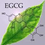 EGCG leaf